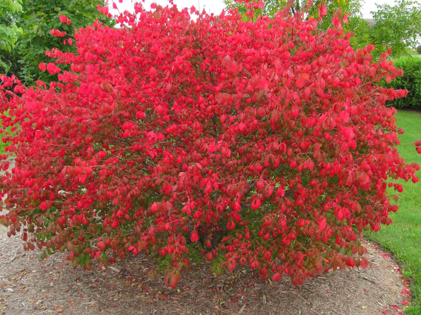 Вейгела с красными цветами фото
