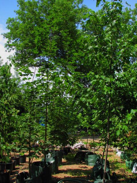 Deciduous shade ornamental trees ornamental trees 15 feet maximum